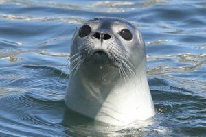 The Miss Samantha - Lobsta' Fishing/Seal Watching :: Join us for a day of Lobster Fishing and Seal Watching! We'll haul lobster traps from the ocean floor, then head off to a small island to view harbor seals basking in the sun!