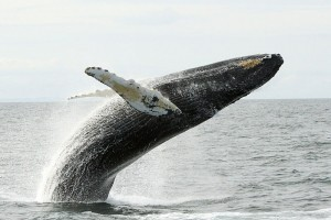 Bar Harbor Whale Watch Company :: Offering several distinct whale watching, sightseeing, light house & nature trips which sail daily throughout the summer season. A must do when visiting Acadia National Park!