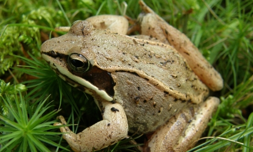 Acadia Maine Wildlife Wood Frog