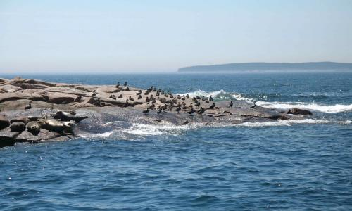 Seals and Birds near Frenchboro