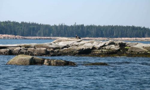 Viewing Bald Eagles on Black Island from Boat Tour