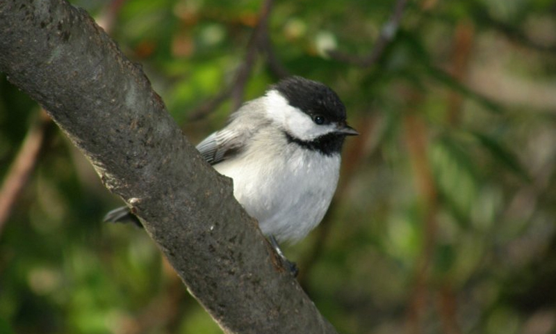 Chickadee Wildlife Acadia National Park Maine