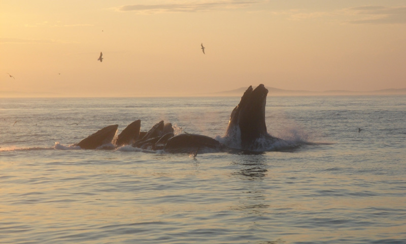 Bar Harbor Whales