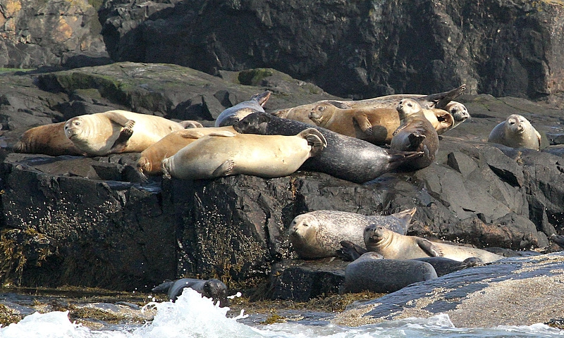 Bar Harbor Seals