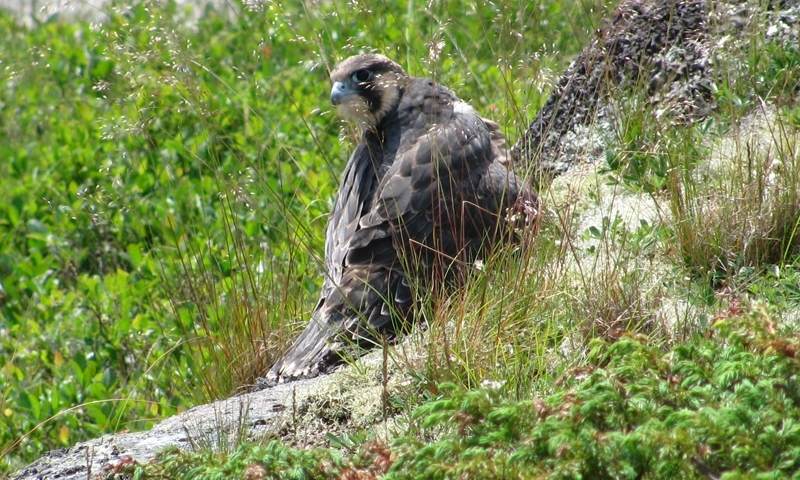 Peregrine Falcon Wildlife Acadia National Park Maine