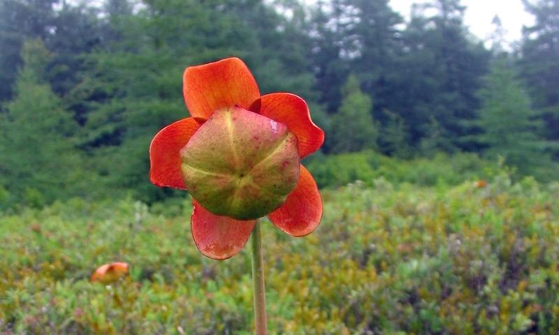 Pitcher Plant Acadia National Park Maine