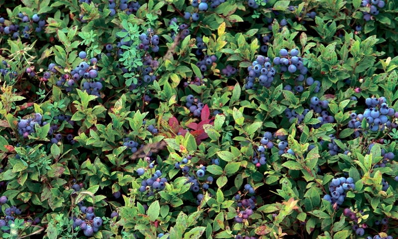Wild Maine Blueberries Alltrips